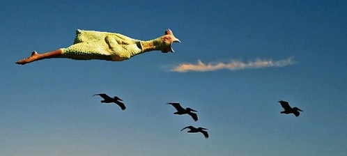 Rubber Chicken Flying with Pelicans
